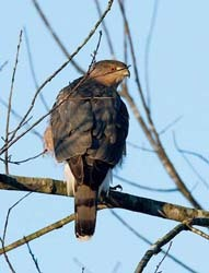 Cooper's hawk perched in a tree