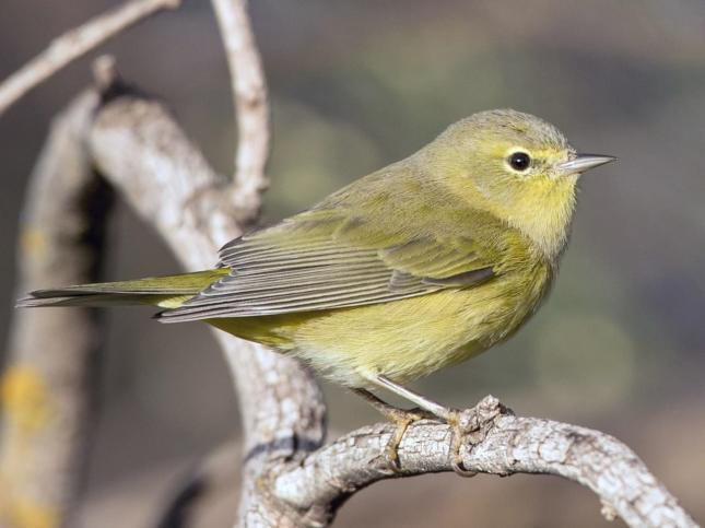 Orange-Crowned Warbler from All About Birds